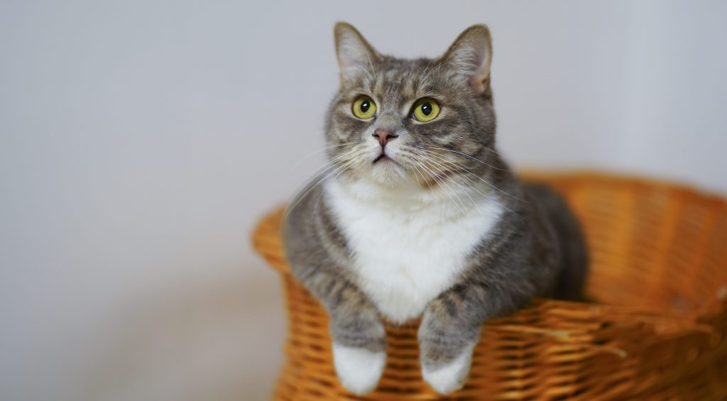 cat in a basket for world records for pets