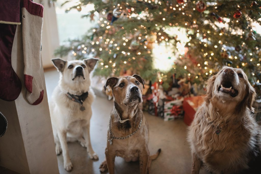 dogs waiting for gifts on Christmas