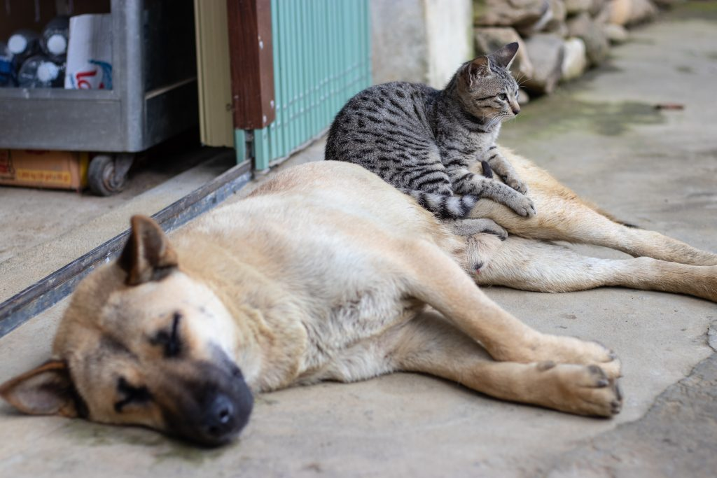 dog laying down with cat on its stomach - bringing a new pet into the family