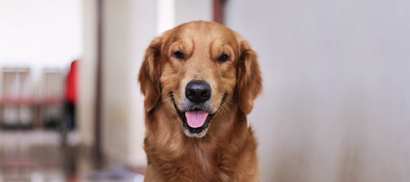 featured image for fun facts about golden retrievers
