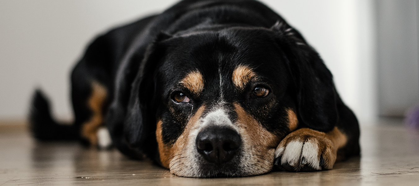 featured image for benefits of colloidal silver for dogs